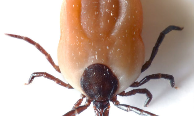 Ticks in Peñasquitos Canyon Carry Tularemia